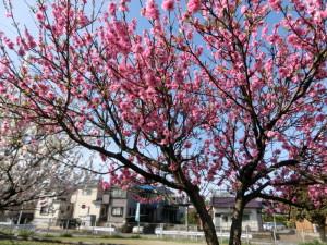 サイクリング 春 桜
