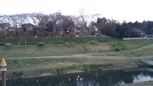 利根運河 桜 名所