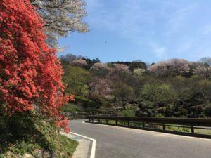 筑波 梅林 桜