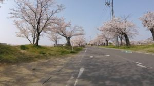 北条大池 桜