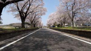 りんりんロード 桜