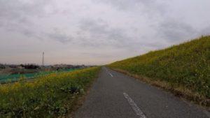 江戸川サイクリングロード 菜の花 2020