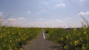 江戸川 菜の花