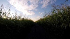 江戸川サイクリングロード 玉葉橋 草