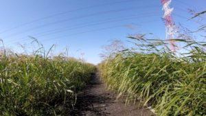 江戸川サイクリングロード 草